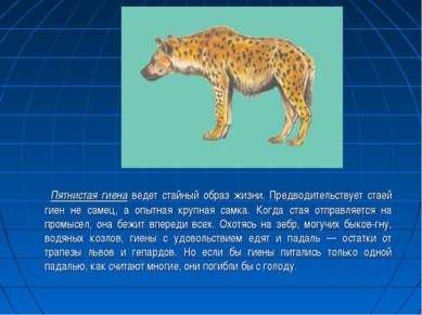 Пятнистая гиена ведет стайный образ жизни. Предводительствует стаей гиен не с...