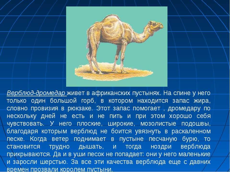 Верблюд-дромедар живет в африканских пустынях. На спине у него только один бо...
