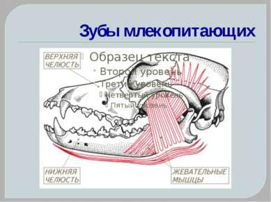 Зубы млекопитающих