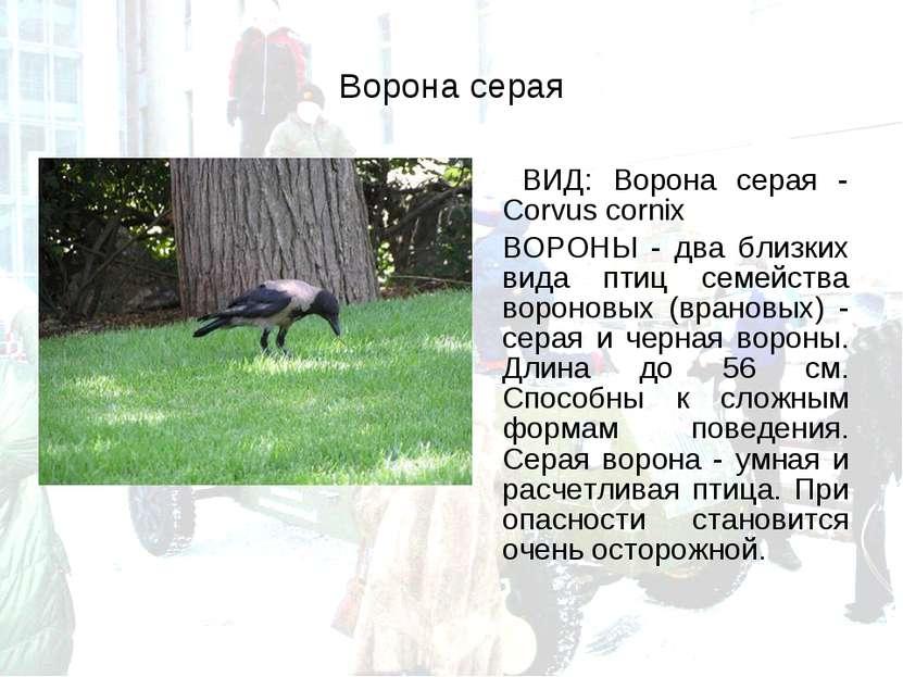 Ворона серая ВИД: Ворона серая - Corvus cornix ВОРОНЫ - два близких вида птиц...