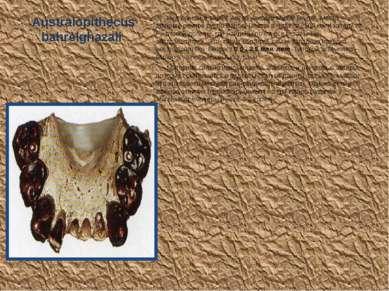 Australopithecus bahrelghazali Вид описан в 1995 г. Автор находки Michel Brun...