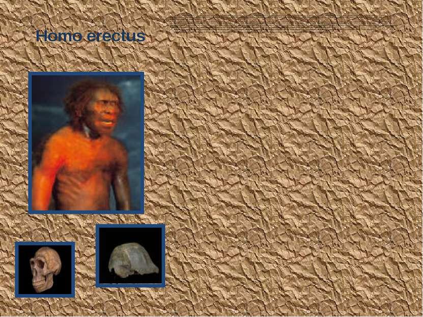 Homo erectus Первая находка этого вида - черепная крышка, обнаруженная на Яве...