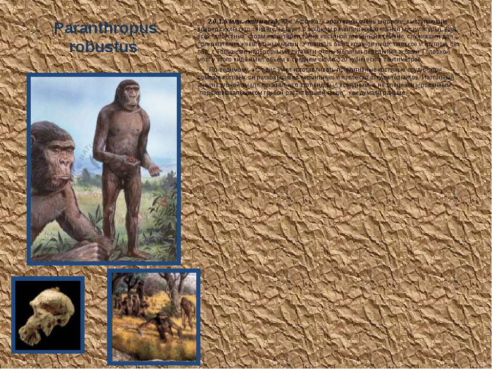 Paranthropus robustus 2.0-1.5 млн. лет назад, Юж. Африка. Характерны очень ши...