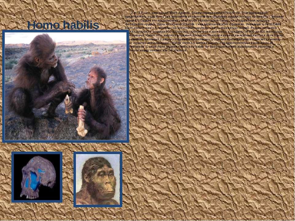 Homo habilis 2.4 - 1.5 млн. лет назад, Вост. Африка. Объем черепа около 670 к...