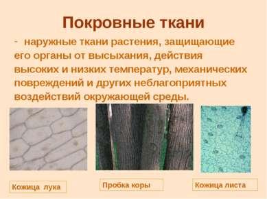 Покровные ткани наружные ткани растения, защищающие его органы от высыхания, ...