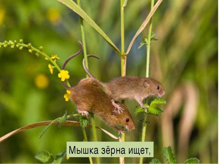 Мышка зёрна ищет,