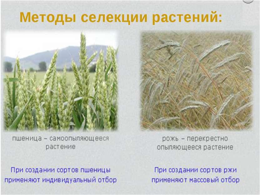 Методы селекции растений: