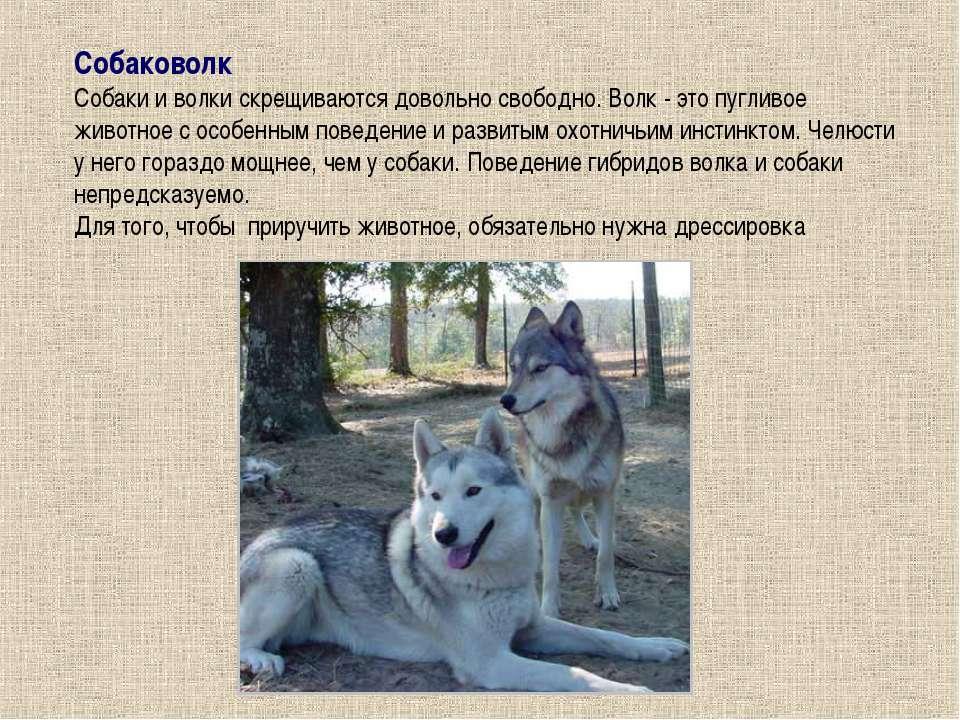 Собаковолк Собаки и волки скрещиваются довольно свободно. Волк - это пугливое...