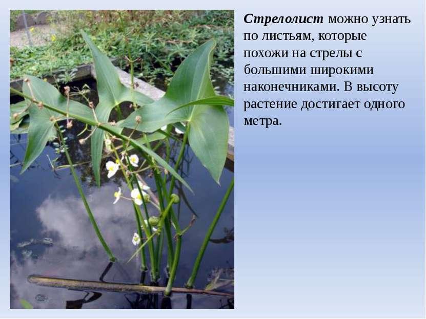 Стрелолист можно узнать по листьям, которые похожи на стрелы с большими широк...