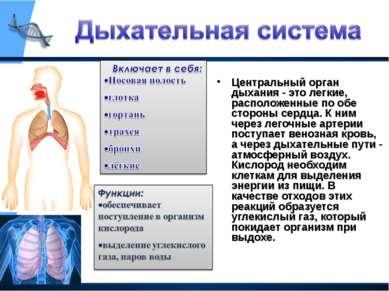 Центральный орган дыхания - это легкие, расположенные по обе стороны сердца. ...