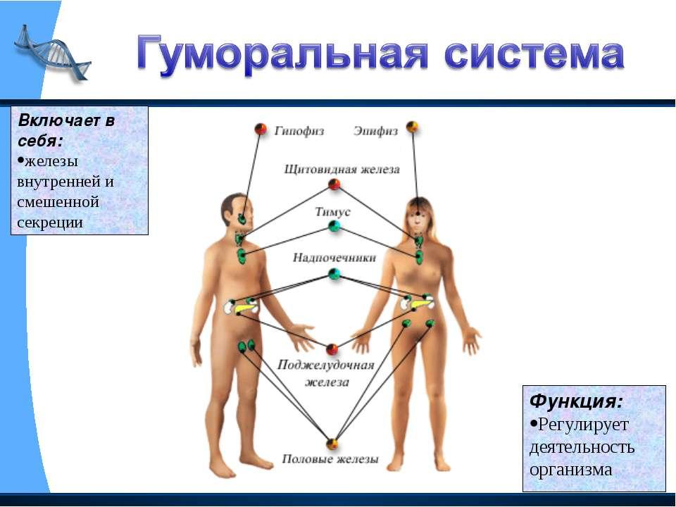 Включает в себя: железы внутренней и смешенной секреции Функция: Регулирует д...