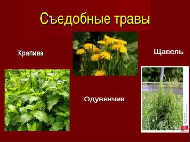 Съедобные травы Крапива Одуванчик Щавель
