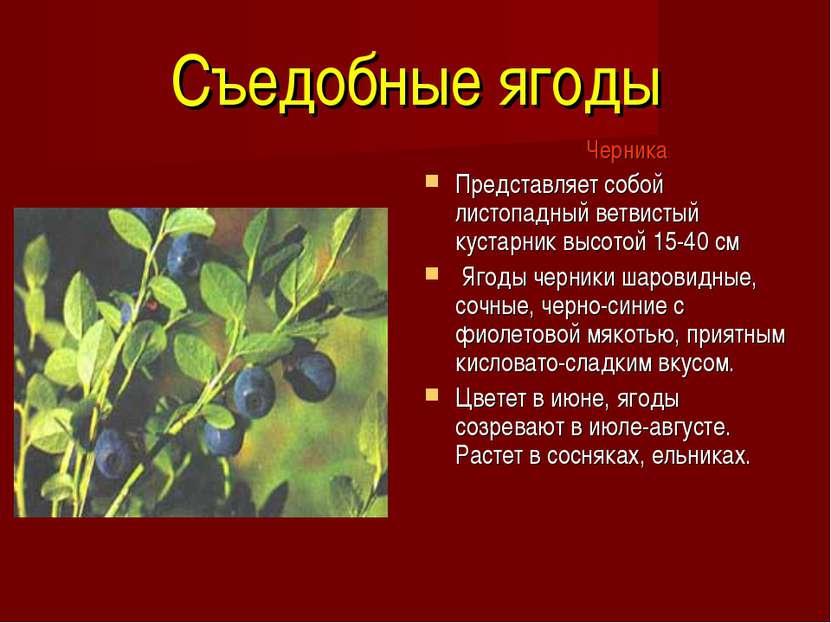 Съедобные ягоды Черника Представляет собой листопадный ветвистый кустарник вы...