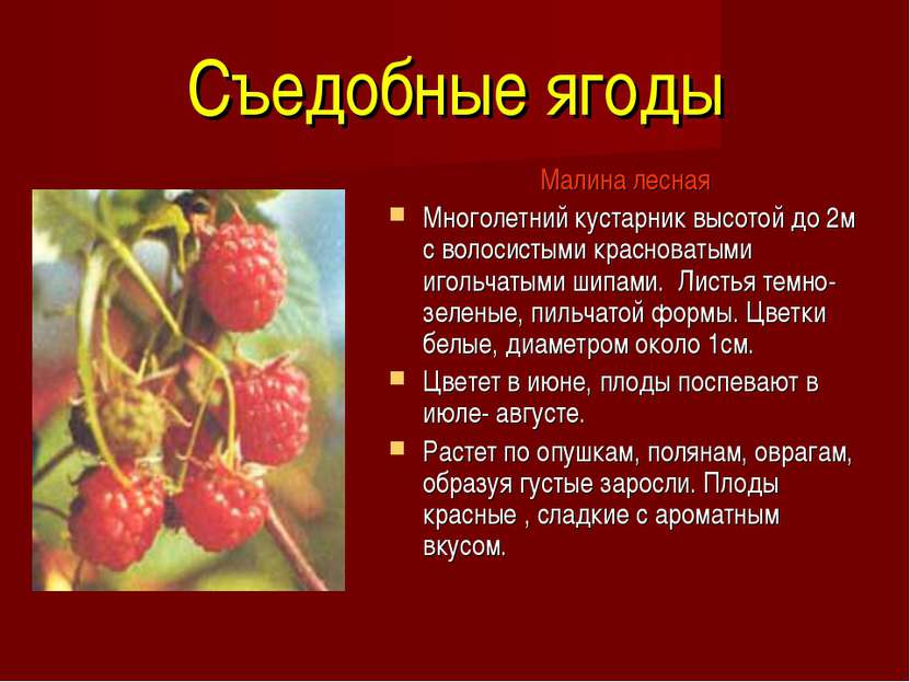 Съедобные ягоды Малина лесная Многолетний кустарник высотой до 2м с волосисты...