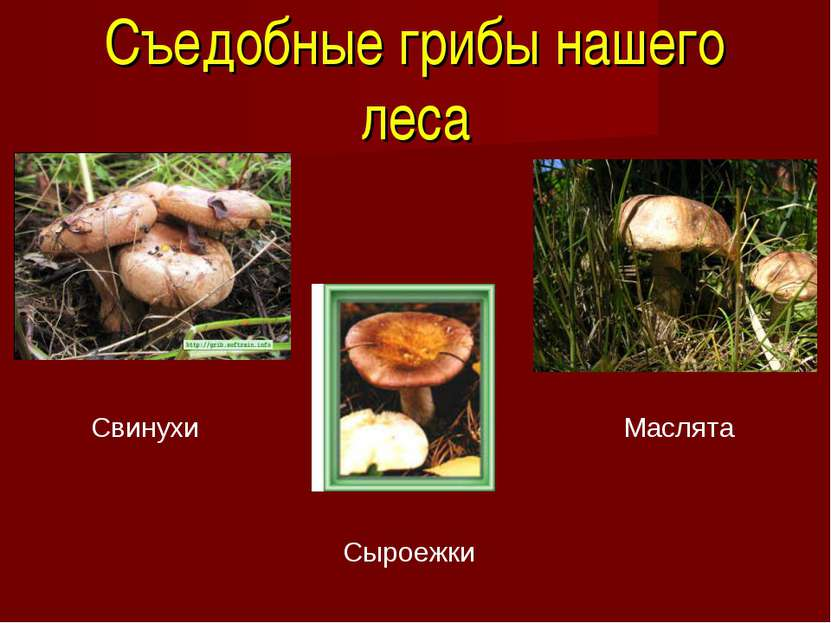 Съедобные грибы нашего леса Свинухи Сыроежки Маслята