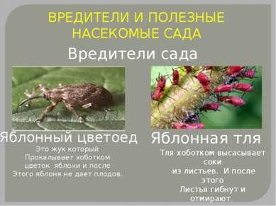 ВРЕДИТЕЛИ И ПОЛЕЗНЫЕ НАСЕКОМЫЕ САДА Вредители сада Яблонный цветоед Это жук к...