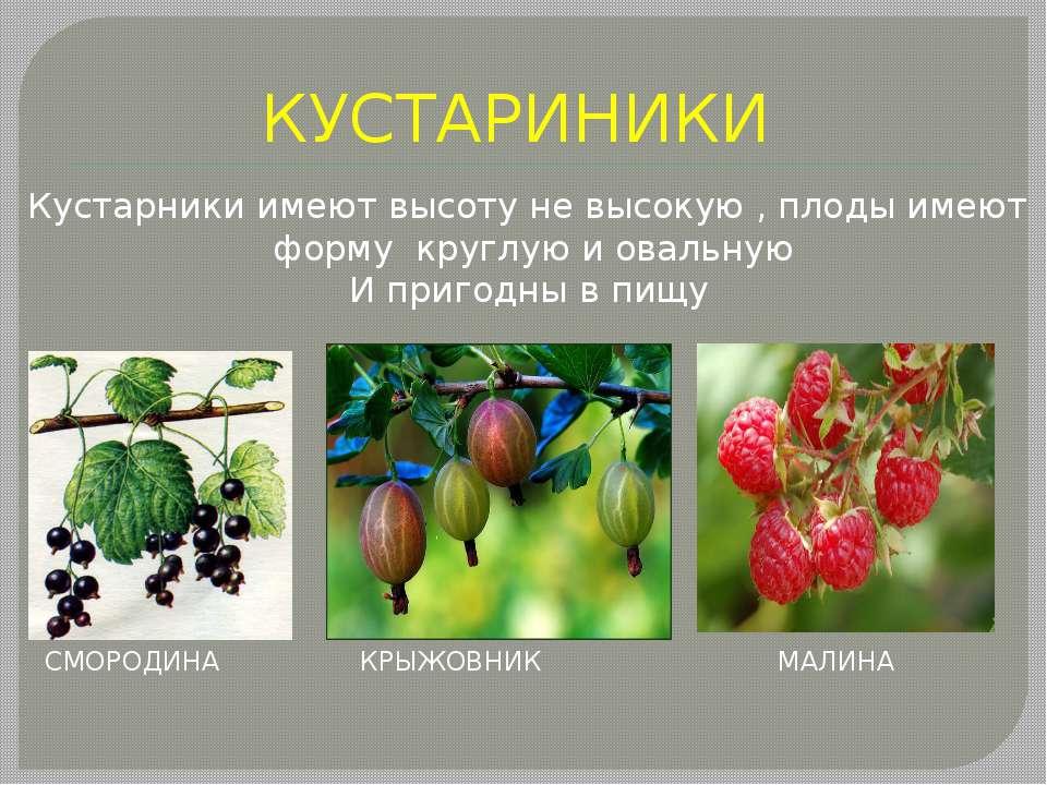 КУСТАРИНИКИ Кустарники имеют высоту не высокую , плоды имеют форму круглую и ...