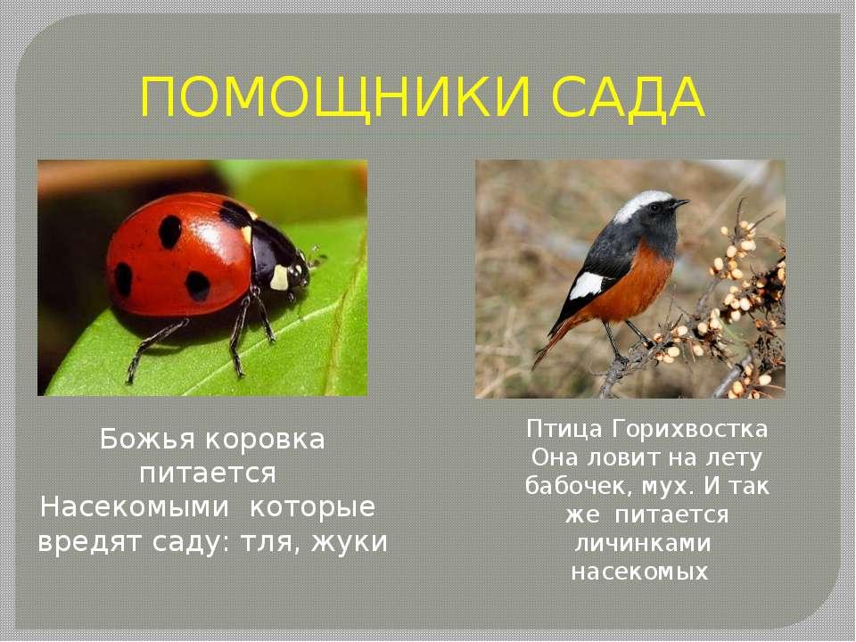 ПОМОЩНИКИ САДА Божья коровка питается Насекомыми которые вредят саду: тля, жу...