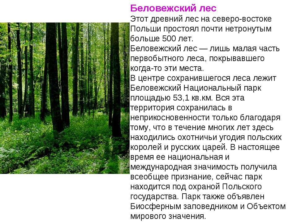 Беловежский лес Этот древний лес на северо-востоке Польши простоял почти нетр...