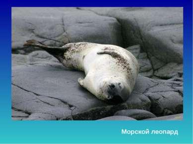 Морской леопард Морской леопард.