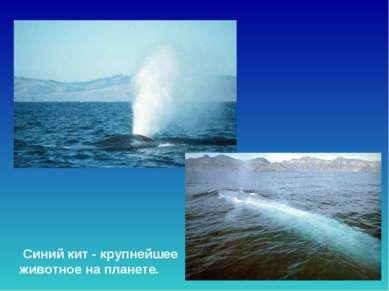 Синий кит - крупнейшее животное на планете. Синий кит - крупнейшее животное н...