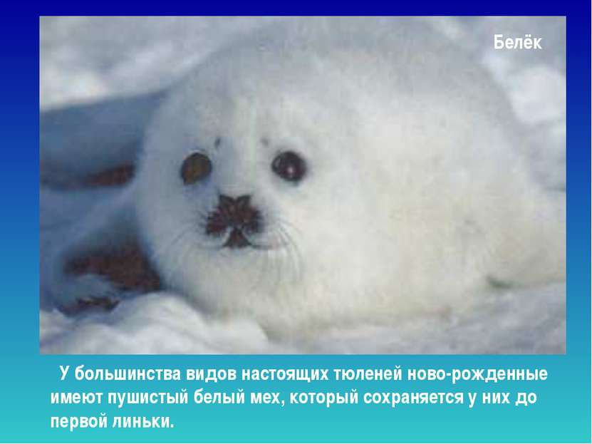 Белёк У большинства видов настоящих тюленей ново-рожденные имеют пушистый бел...