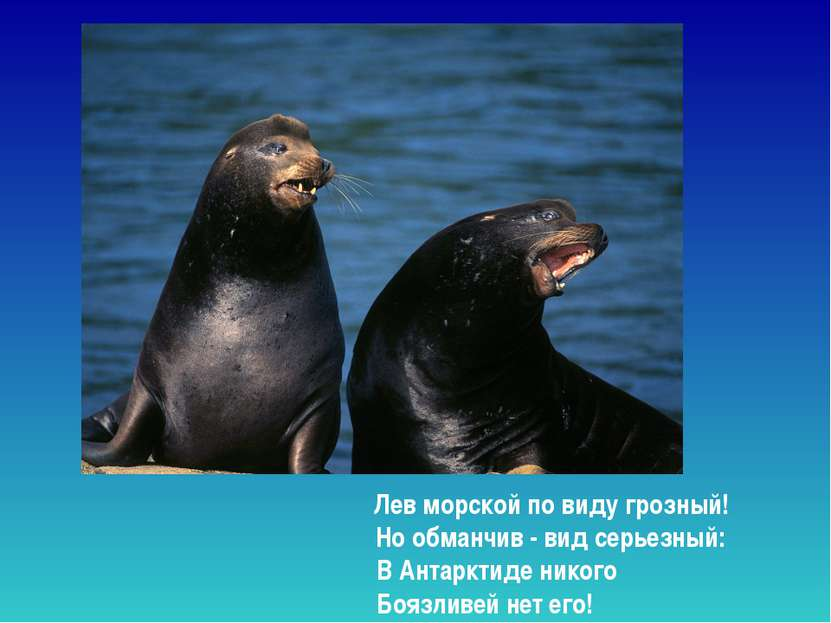 Лев морской по виду грозный! Но обманчив - вид серьезный: В Антарктиде никог...