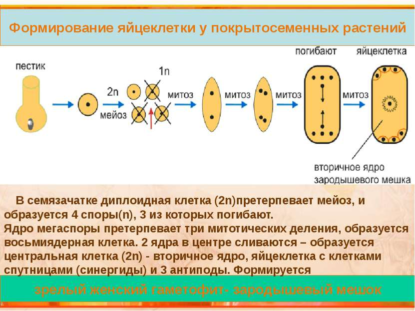 Механизм двойного оплодотворения Необходимые условия для процесса оплодотворе...