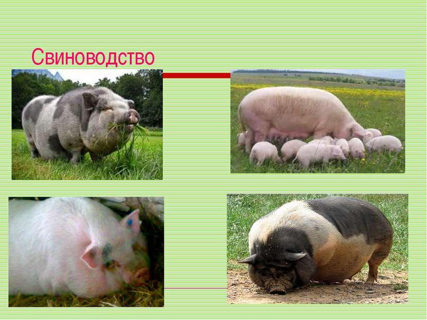 Свиноводство