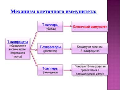 Механизм клеточного иммунитета: