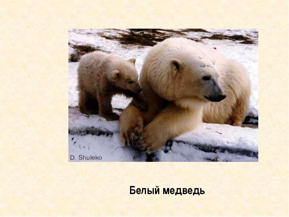 Знахари готовили из частей его тела лекарства от слабости и трусости Медведь ...