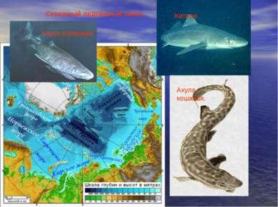 Северный ледовитый океан Катран Акула кошачья. Акула полярная