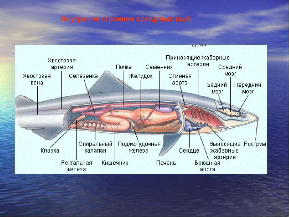 Внутренне строение хрящевых рыб