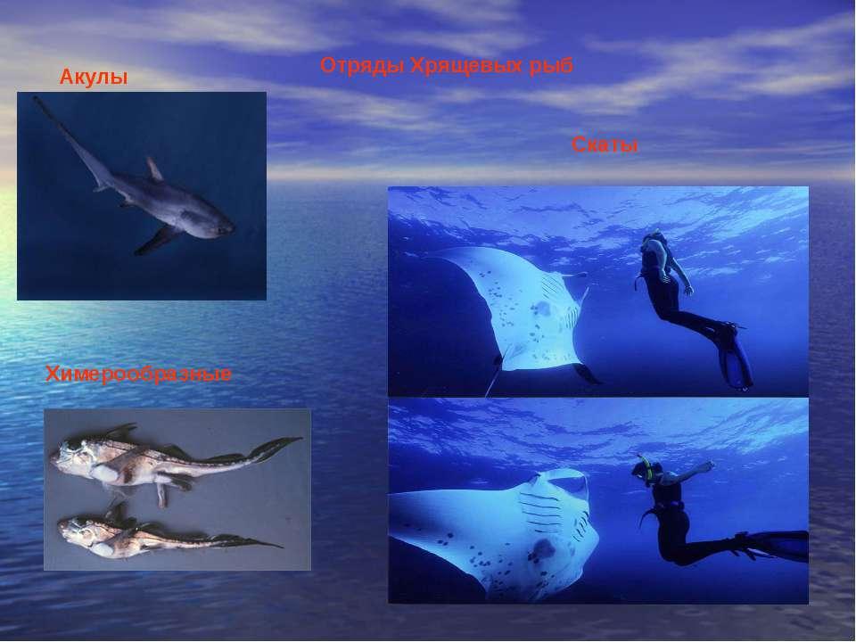 Отряды Хрящевых рыб Акулы Скаты Химерообразные