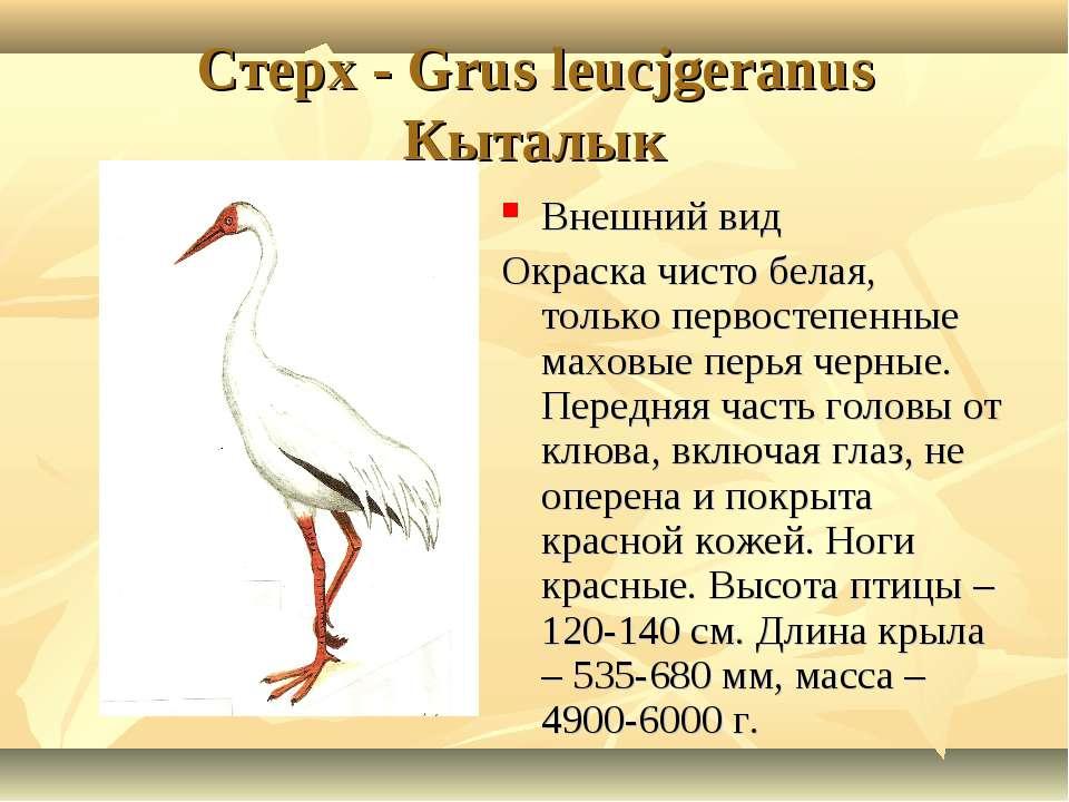 Cтерх - Grus leucjgeranus Кыталык Внешний вид Окраска чисто белая, только пер...