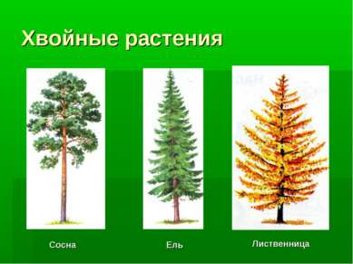 Хвойные растения Лиственница Сосна Ель