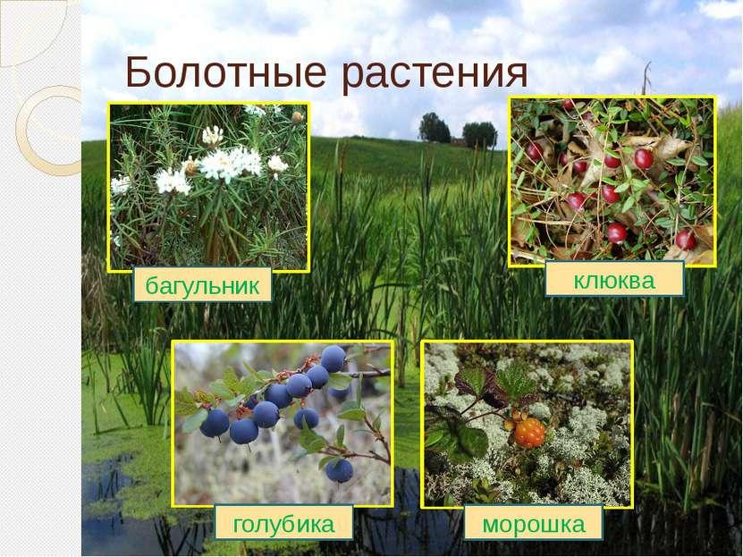 Болотные растения клюква морошка голубика багульник