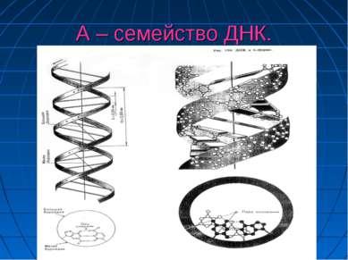 А – семейство ДНК.