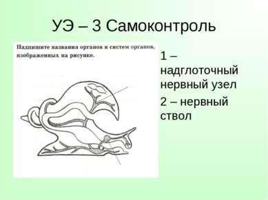 УЭ – 3 Самоконтроль 1 – надглоточный нервный узел 2 – нервный ствол