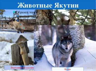 Животные Якутии олень Белка Верхоянский суслик Волки
