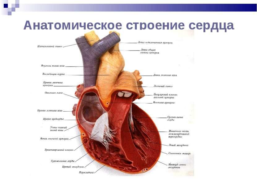 Анатомическое строение сердца