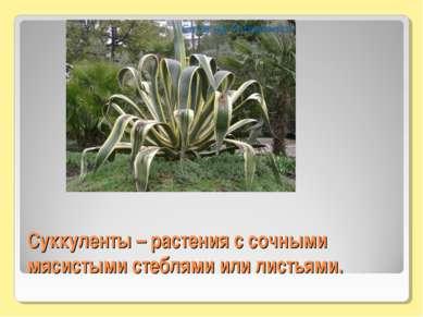 Суккуленты – растения с сочными мясистыми стеблями или листьями.