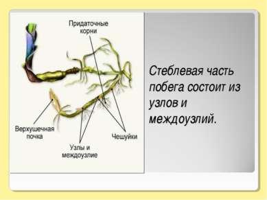 Стеблевая часть побега состоит из узлов и междоузлий.