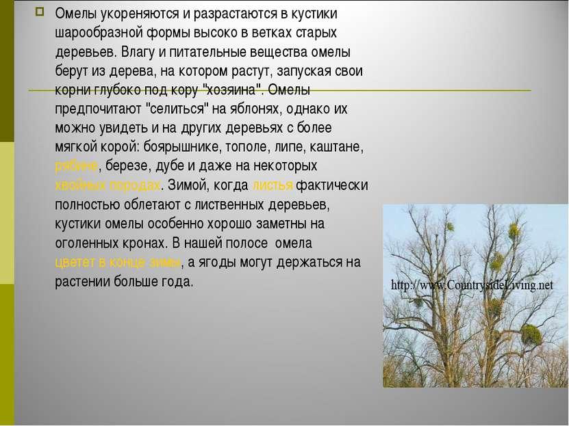 Омелы укореняются и разрастаются в кустики шарообразной формы высоко в ветках...