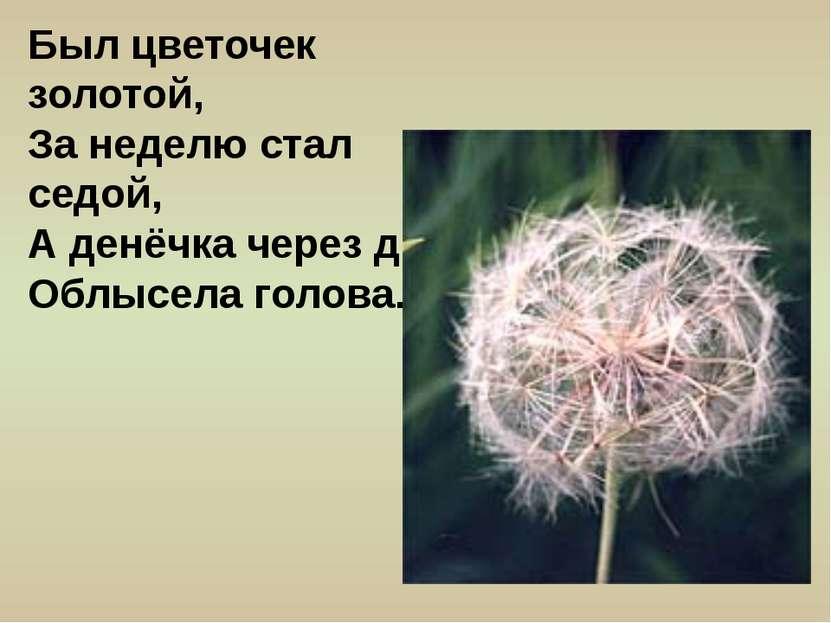 Был цветочек золотой, За неделю стал седой, А денёчка через два Облысела голова.