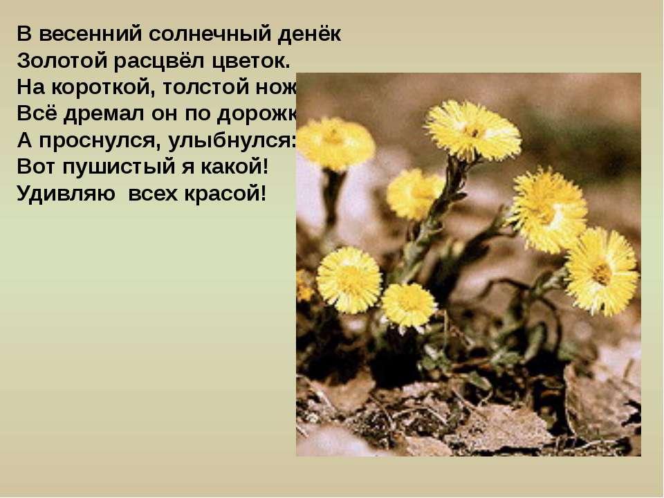 В весенний солнечный денёк Золотой расцвёл цветок. На короткой, толстой ножке...