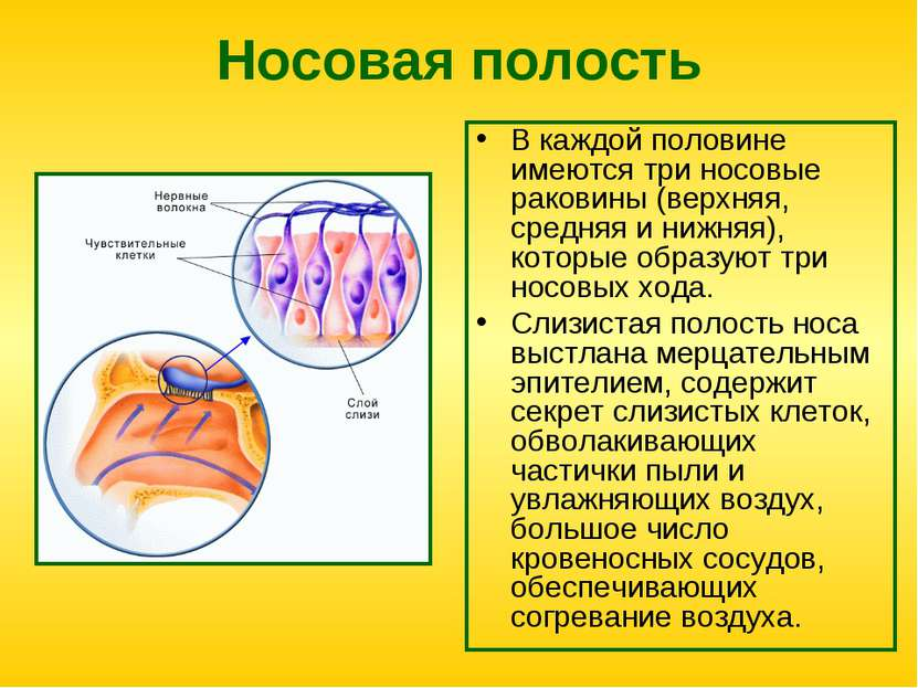 Носовая полость В каждой половине имеются три носовые раковины (верхняя, сред...