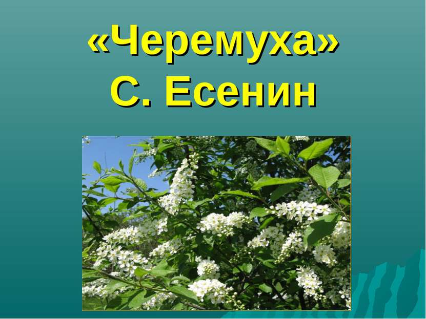 «Черемуха» С. Есенин