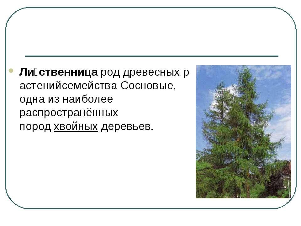 Ли ственницароддревесныхрастенийсемействаСосновые, одна из наиболее распр...
