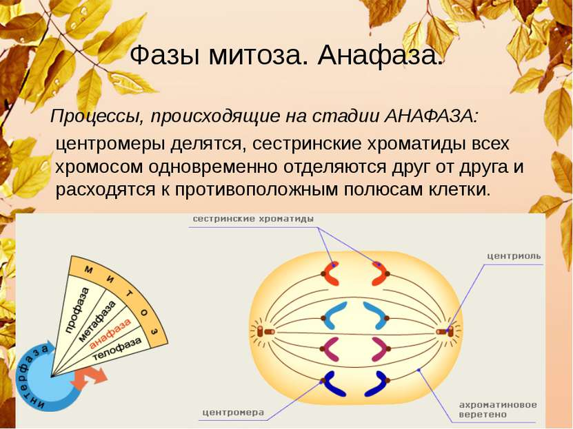 Фазы митоза. Анафаза. Процессы, происходящие на стадии АНАФАЗА: центромеры де...